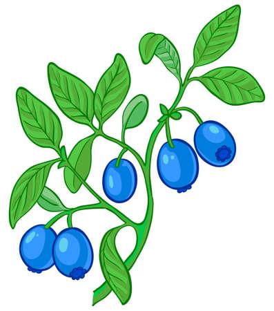 Isoliert Abbildung der Heidelbeere Zweig