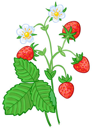 wild strawberry: Isolated illustration of strawberry branch
