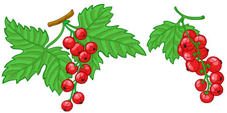 Isolated illustration of currant branch