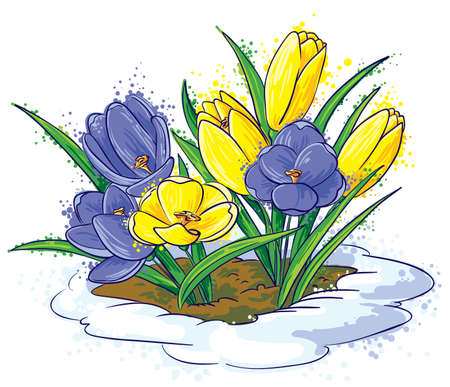 crocus: Young  crocuses growing through snow Illustration