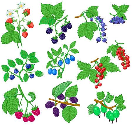 strawberry plant: Berries set Illustration