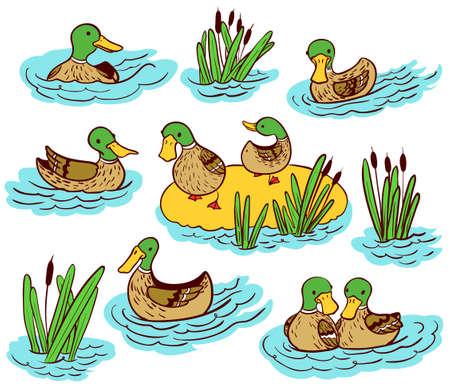 mallard duck: Doodle vector line art illustration set with ducks and reed on water Illustration