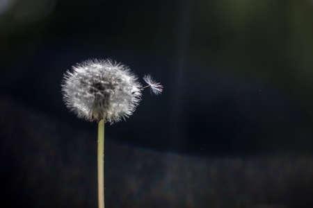 whiff: flying Dandelion seed