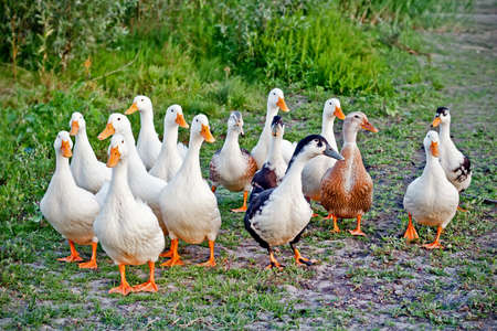 Domestic ducks flock on the walk