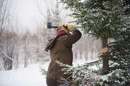 man cuts the tree in the forest in winter, outside the law, a license