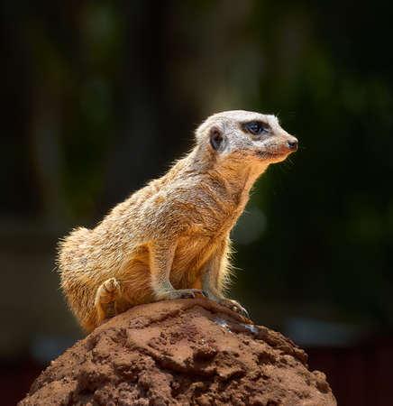 Slender-tailed meerkat (lat. Suricata suricatta )
