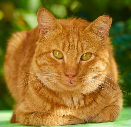The arrogant red cat