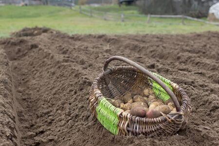 basket with potatoes on a plowed field