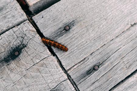 Fluffy orange caterpillar on unpainted wooden floor. Macrothylacia rubi Reklamní fotografie