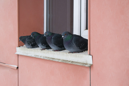 bask: Wild pigeons in winter, sitting on the ledge near the window and bask