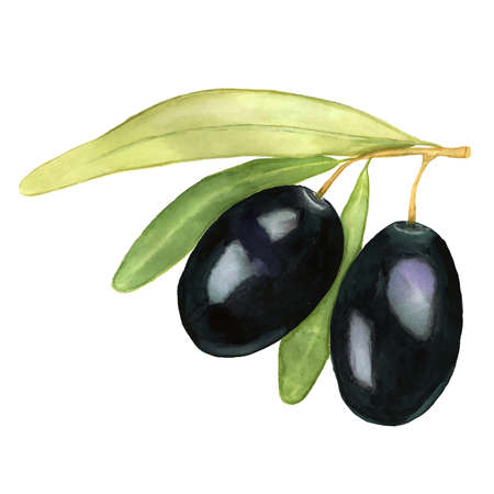 Two black olives with green and yellow leafs. Watercolor vector illustration. Illustration