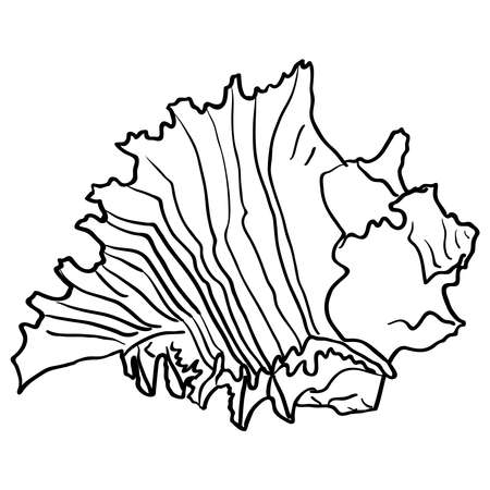 cockle: Marine hand drawn shell. Sketch cut-out vector illustration.