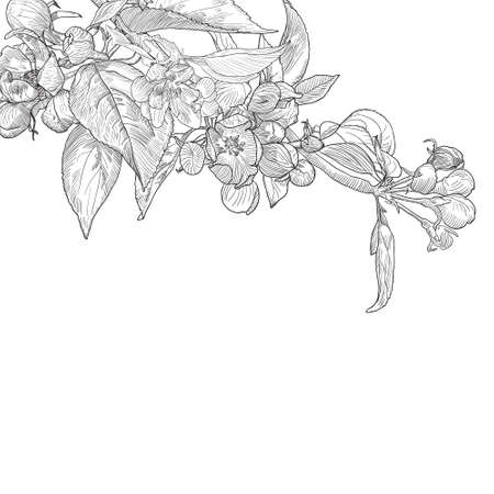 Vintage hand drawn blooming apple tree twig isolated on white. Black and white vector illustration in botanical style. Vector
