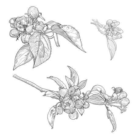 ベクトルの植物コレクションは、白で隔離描画の咲くアップル ツリー小枝を手します。