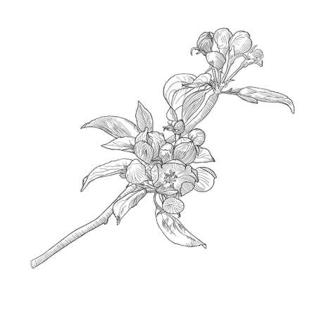 Vintage hand drawn blooming apple tree twig isolated on white. Black and white vector illustration in botanical style.