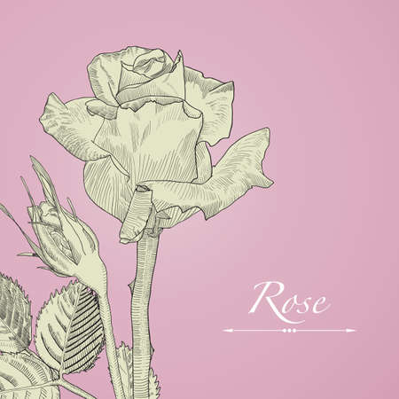 Hand drawn vector blomming rose with bud. Isolated illustration on pink background in vintage technique. Illustration