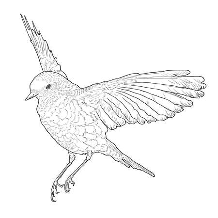 spread wings: Soaring bird with spread wings. Hand drawn vector illustration. Isolated on white background. Botanical style. Illustration