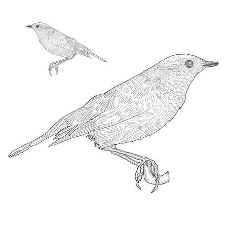 Bird sitting down on the twig, Botanical vintage illustration. Hand drawn isolated outline vector.