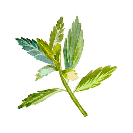 substitute: Stevia, sweetleaf sugar substitute. Watercolor vector illustration.