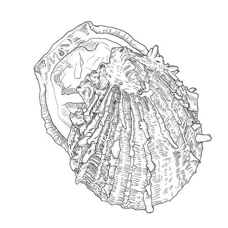 Opened oyster with outline and fill. Sea food. Vector illusrtation in vintage technique. White background.