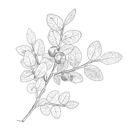 Hand drawn branch of black and white vector blueberry with a three berries. Isolated layered illustration with outline and fill.