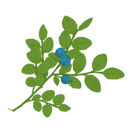 Hand drawn branch of colorful vector blueberry with a three berries. Isolated layered illustration with outline and fill.