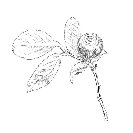 Hand drawn branch of black-and-white vector blueberry with a one berry and leaf. Isolated layered illustration with outline and fill. Illustration