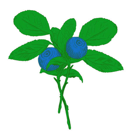 Hand drawn branch of colorful vector blueberry with two berries. Isolated layered illustration with outline and fill.