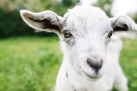 Mignonne chèvre qui vous regarde de près. Jeune chèvre blanche adorable sur fond de prairie verte. Vue de face sur le visage de chèvre