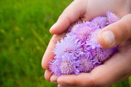 jardines con flores: Manos que sostienen el manojo de flores, fondo de la hierba verde. Campo pie. palmas florista con el áster de campo frescas
