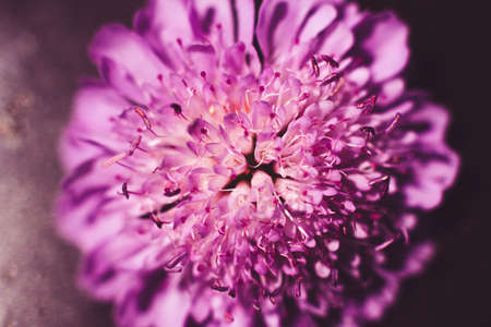 aster: Beautiful pink blooming aster background