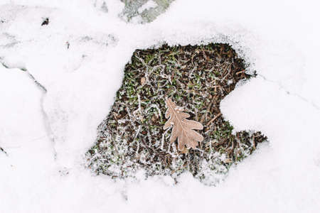 senescence: Oak leaf on grass in snow frame, flat lay, free space. Dry folio in frost surrounding. Piece of autumn in winter