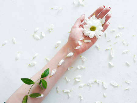 green organic herbal cosmetics. natural beauty and harmony. daisy flower in womans hand. camomile petals on white background Stock Photo