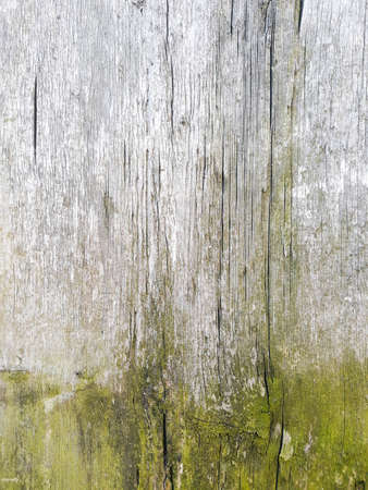 old wood texture background. cracks and green moth. light grey shabby natural backdrop. weathered vintage eroded surface. copy space concept