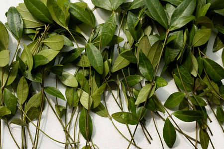 periwinkle leaves mix on white background. green leafy foliage assortment. floral decor.