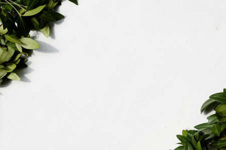 nature botany and plants. green periwinkle leaves on white background. copyspace concept Stock Photo