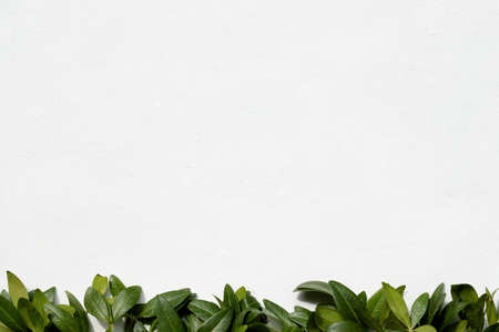 floristry minimalistic decor. green periwinkle leaves on white background. nature and plants. copyspace concept
