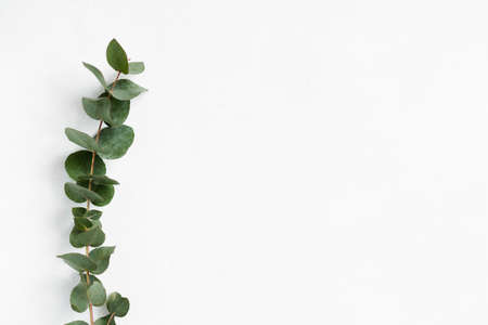 green eucalyptus twig on white background. minimalistic natural decor. free space concept.