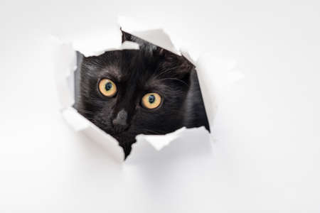 cat looking through ripped hole in white paper. peekaboo. naughty pets and mischievous domestic animals