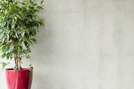 ficus benjamina in red pot against grey concrete wall. minimalistic background with empty space. office plant concept.