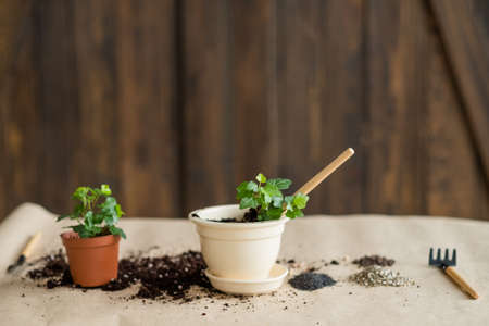 pots with green freshly planted flowers. gardening hobby and floriculture Stock Photo