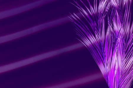 Creative abstract background. Light shadow on neon purple palm leaf. Stock Photo