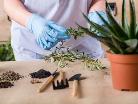 Home plant care. Stress relief hobby. Hands in rubber gloves organizing seedlings and garden equipment. Stock Photo