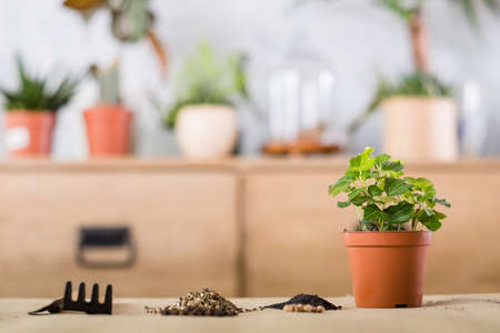 Spring home plant repotting. Indoor garden care. Houseplant and tools arranged for replanting.