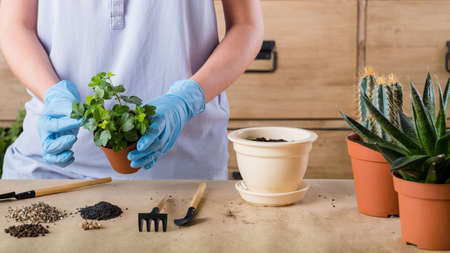 Spring home plant repotting. Indoor garden care. Woman holding houseplant for transplantation.