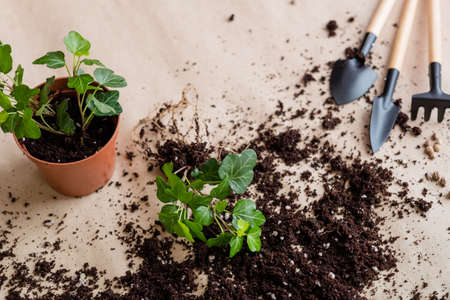 Seedling germination process. Home gardening concept. Plant transplantation background.