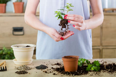 Free planting and repotting services. Home plant shopping. Seedling removed and ready for transplantation. Stock Photo
