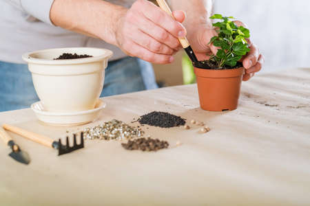 Spring home plant repotting. Indoor garden care. Man engaged in houseplant transplantation. Stock Photo
