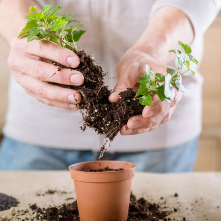 Home plant care. Stress relief hobby. Man engaged in replanting. Stock Photo