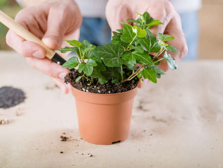 Plant transplantation. Home flora care concept. Hands replanting houseplant.